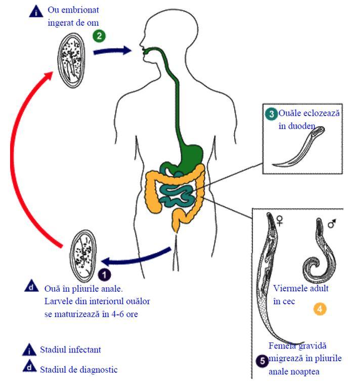 virus del papiloma humano sintomas en hombres y mujeres