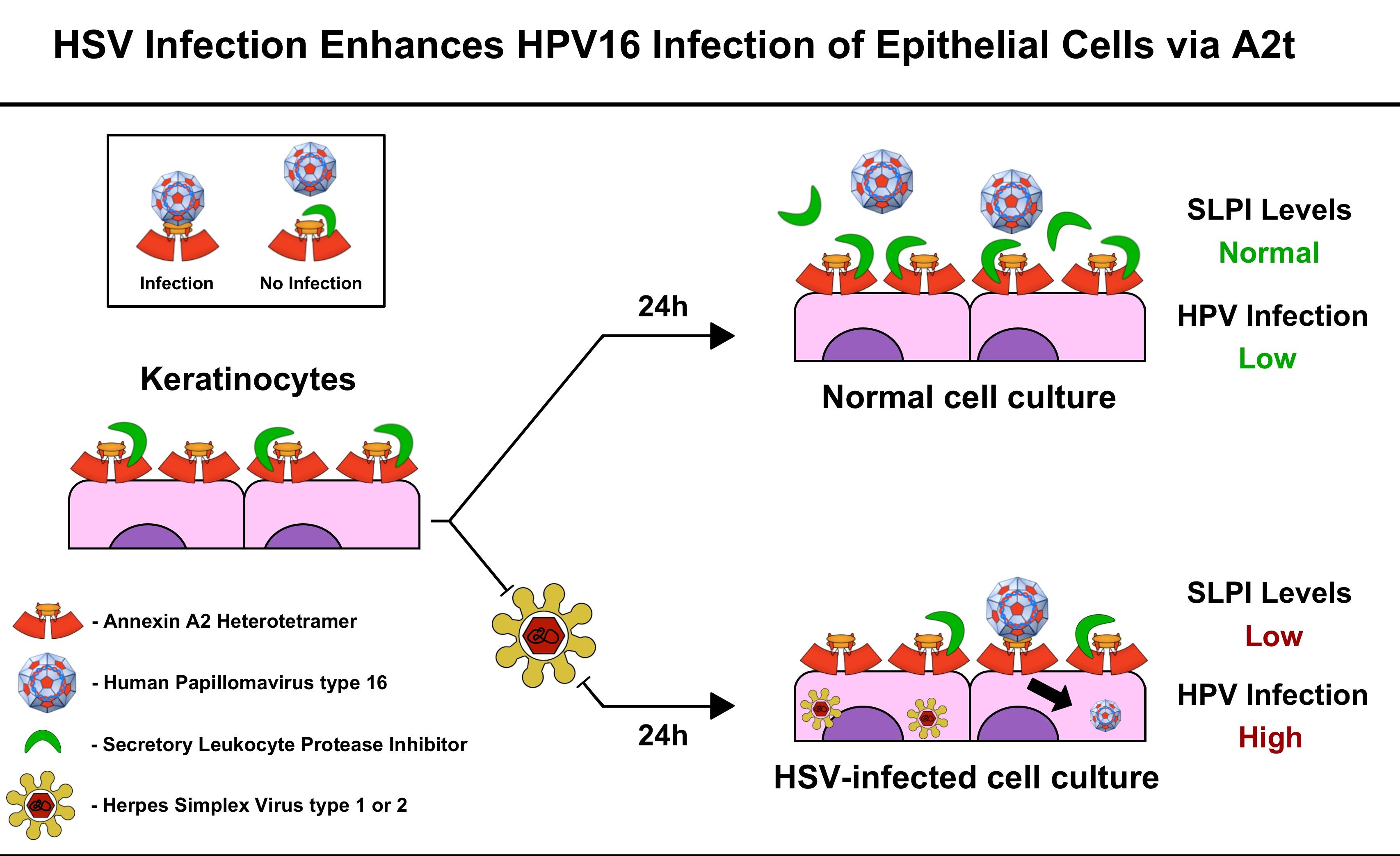 papilloma virus herpes simplex