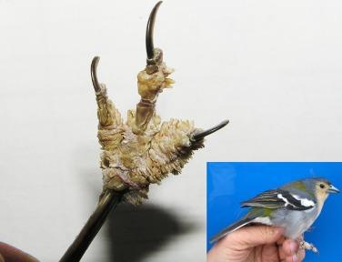 papillomavirus in birds the human papillomavirus (hpv) causes