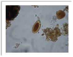 Primer práctico de parasitología - Helmintos y protozoarios.ppt