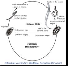 enterobius vermicularis larvae morphology papillomavirus em caes