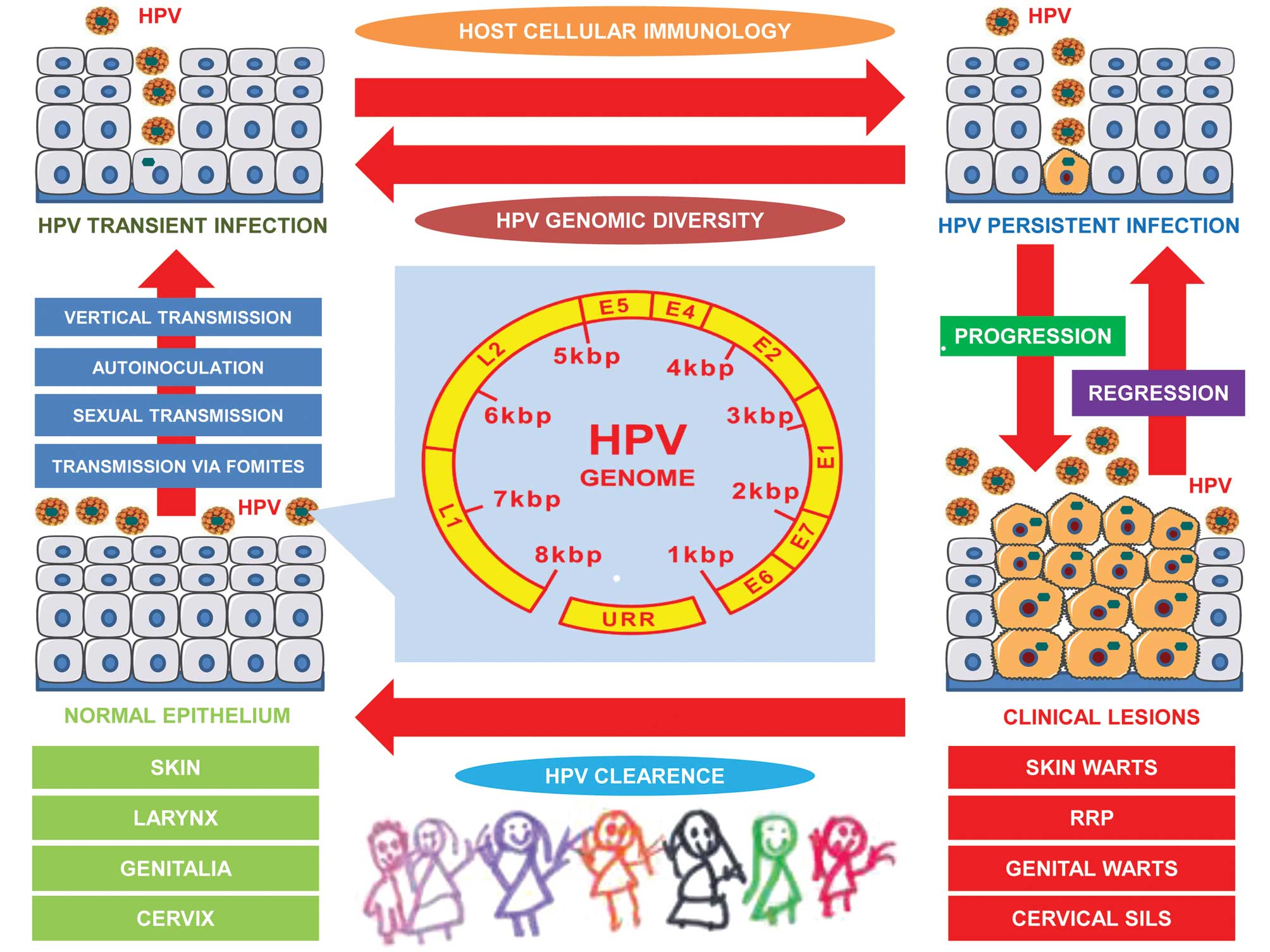 how is human papillomavirus (hpv) transmitted que es la papilomatosis