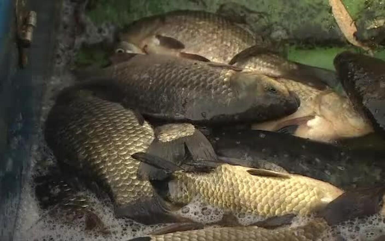 Este posibil să mănânci pește infectat cu viermi