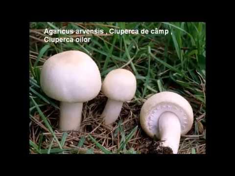 5 ciuperci comestibile
