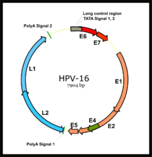 hpv numbers meaning