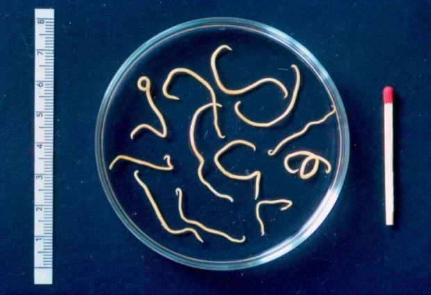 paraziti na obliceji