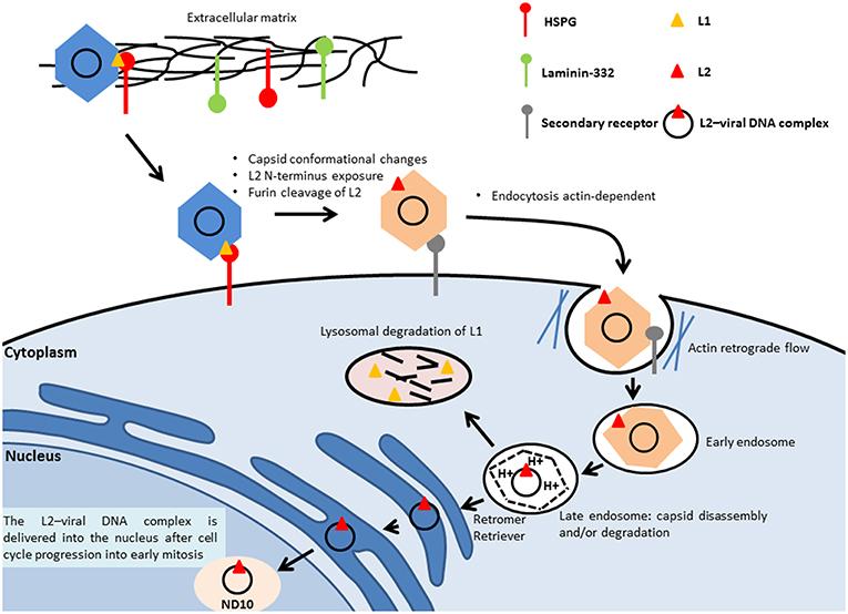 papillomavirus oncogene hpv 16 cancer colon screening