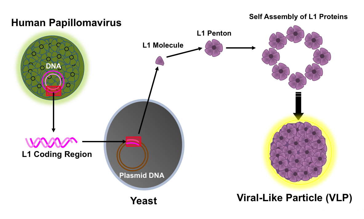 is hpv a virus or bacteria