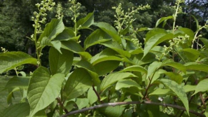S-a descoperit o plantă chinezească care vindecă cancerul în 40 de zile