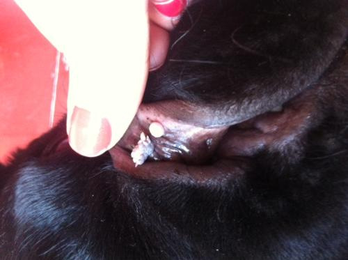 papilloma virus dei cani hpv treatment dubai