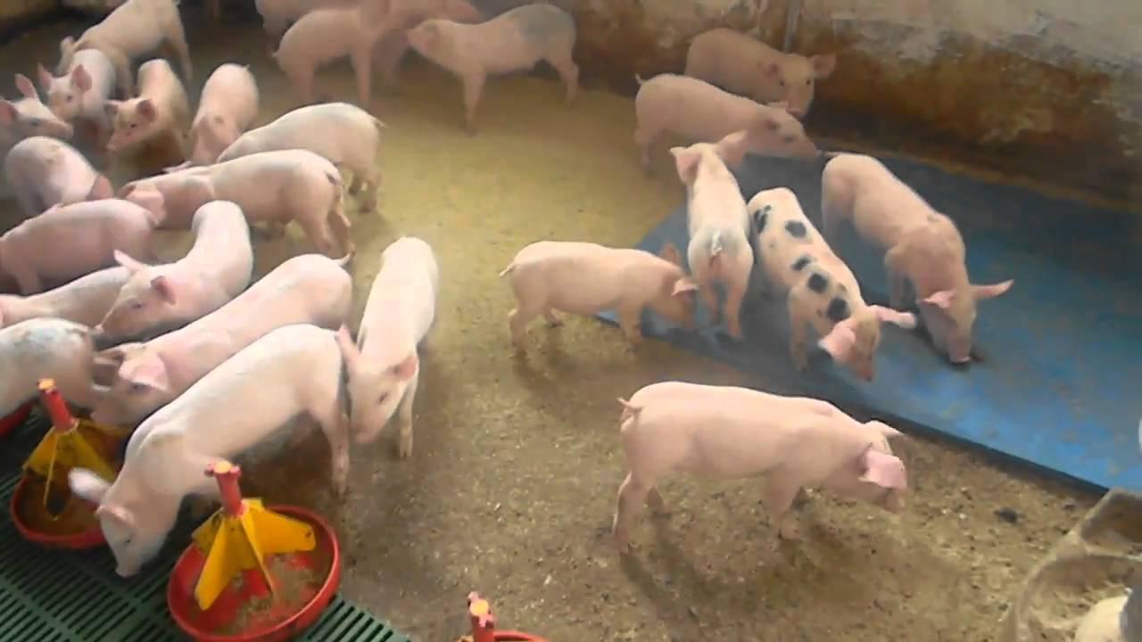 tratament natural pentru limbrici la porci cancer maligno que es