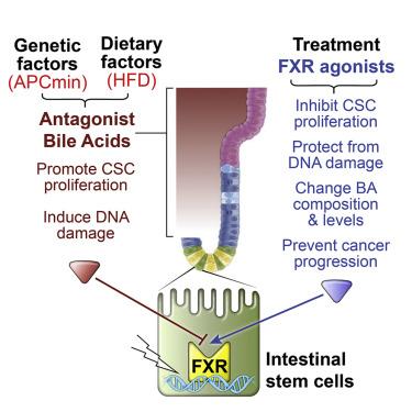 Celule stem - Wikipedia