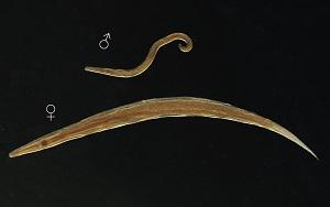 Oxiuriază - Wikipedia