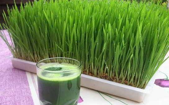Sucul din iarbă de grâu – Esenţa vindecătoare a soarelui • rawdia