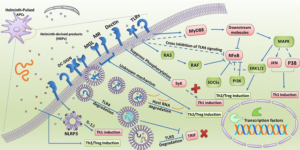 helminth immunomodulation in autoimmune disease
