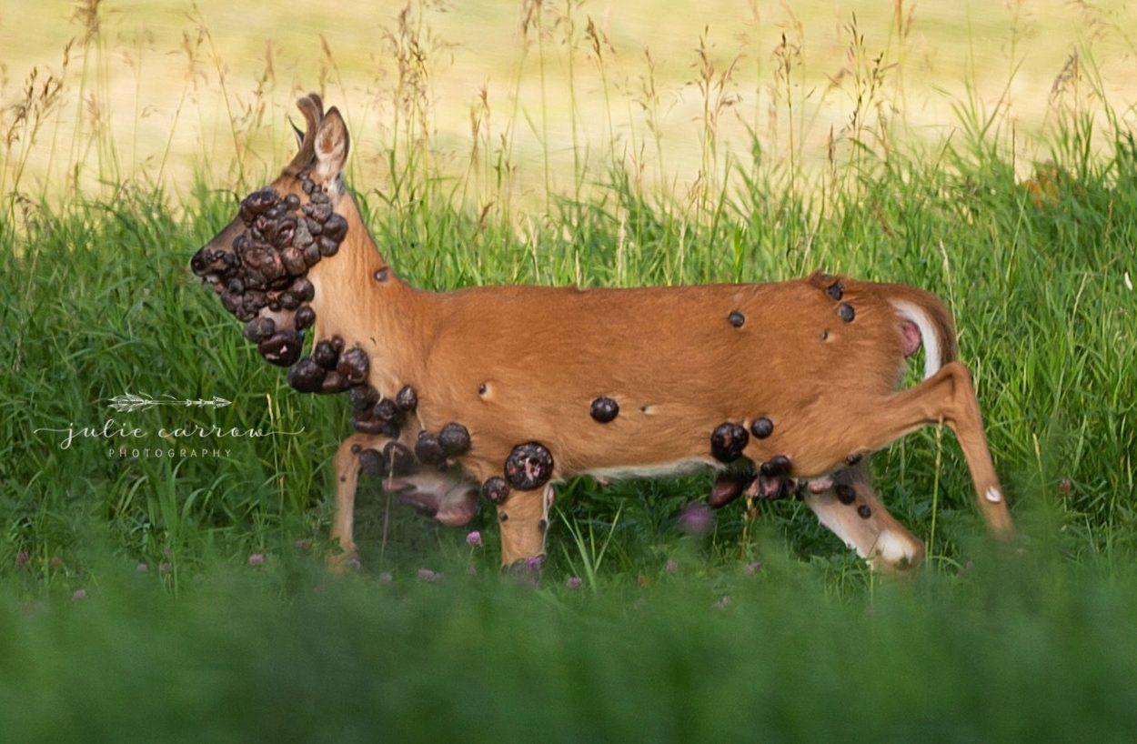 deer with hpv tumors papillomavirus infection skin