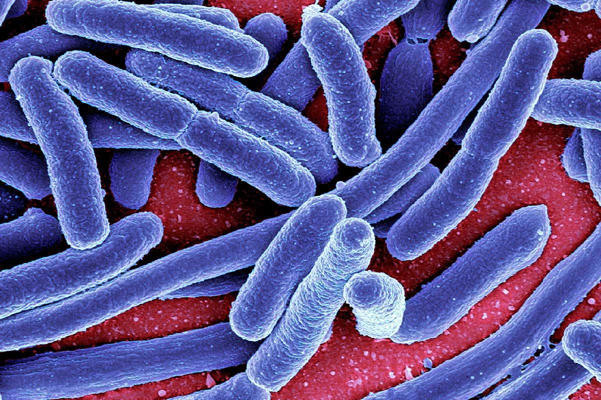 toxine intestin los oxiuros se reproducen