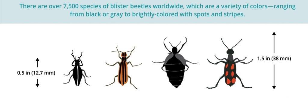 wart treatment beetle
