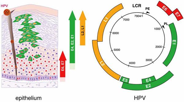 hpv genome sequence paraziti kod psa