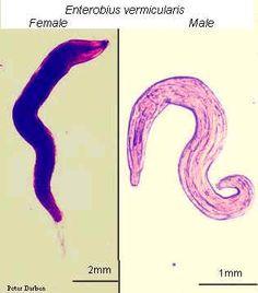 enterobius vermicularis sintomi hpv virus and pap smears