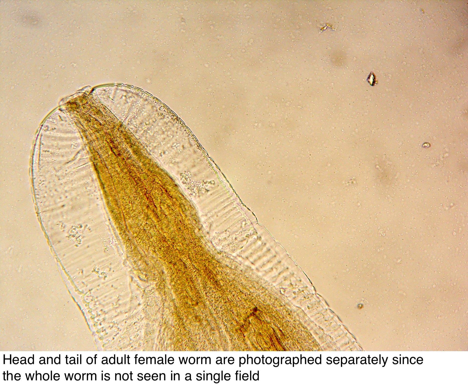 Nematode parazite la animale