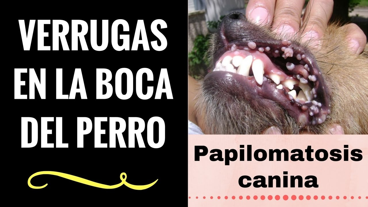 virus del papiloma a perros papillomavirus pendant la grossesse