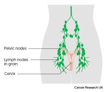 The Cervix