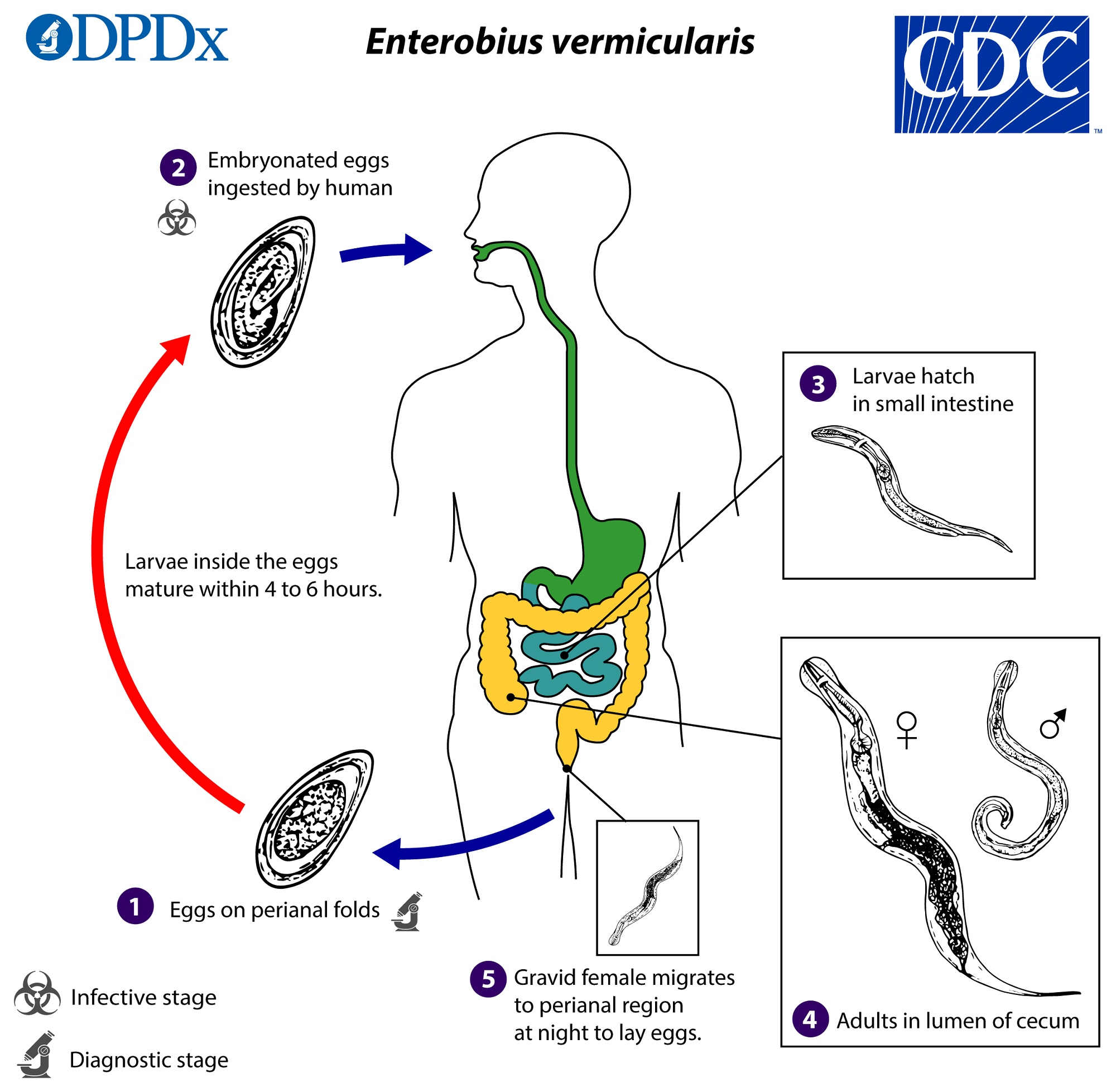 enterobius vermicularis = oxyuris vermicularis cancer de garganta por hpv tem cura