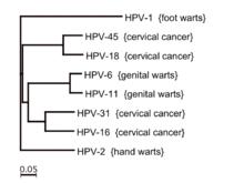 human papillomavirus or hpv family papiloma virus humano genital