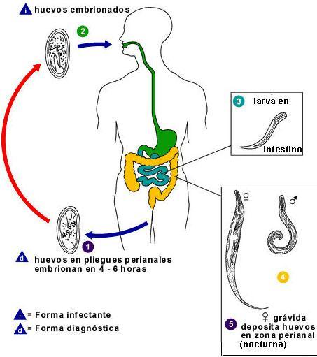 oxiuros uretra