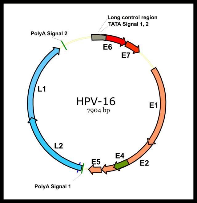 with human papillomavirus 16