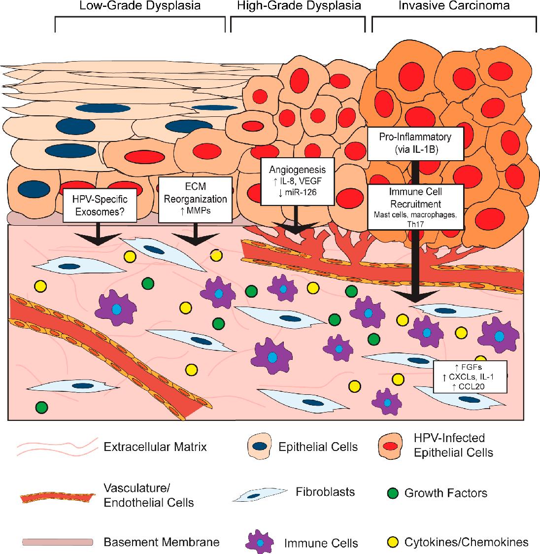 human papillomavirus replication cycle