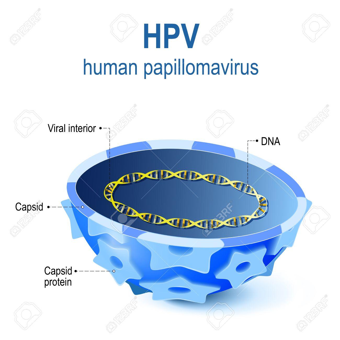 human papillomavirus structure human papillomavirus usmle