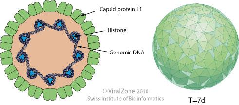 human papillomavirus structure