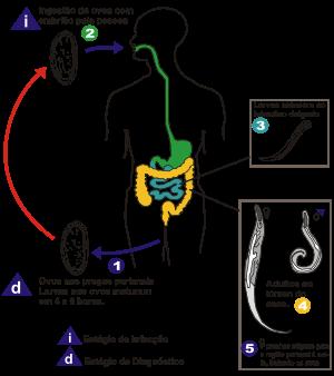 oxiurose causa sintomas tratamento prevencao