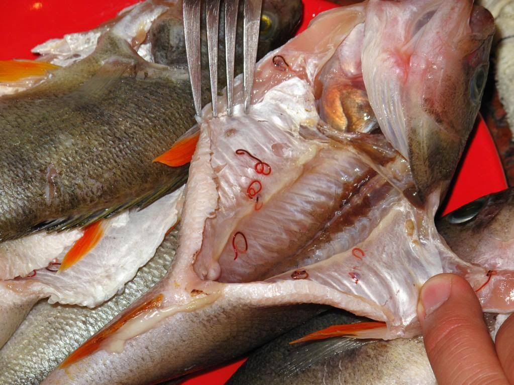 Atenție la carnea de pește! Vezi ce paraziți conține.