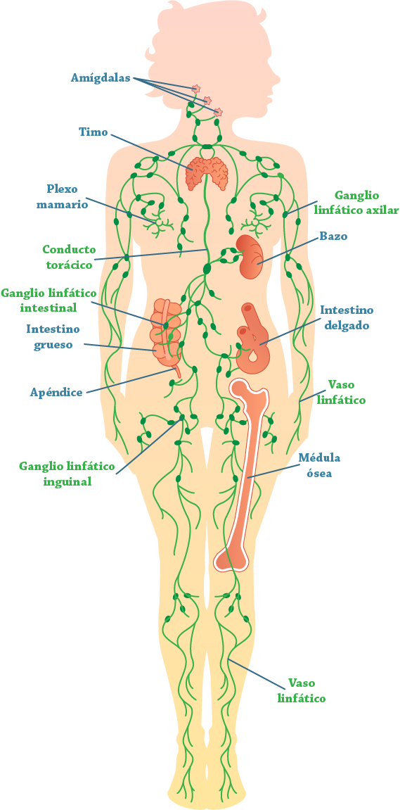 Fișier:Lymphatic system.png
