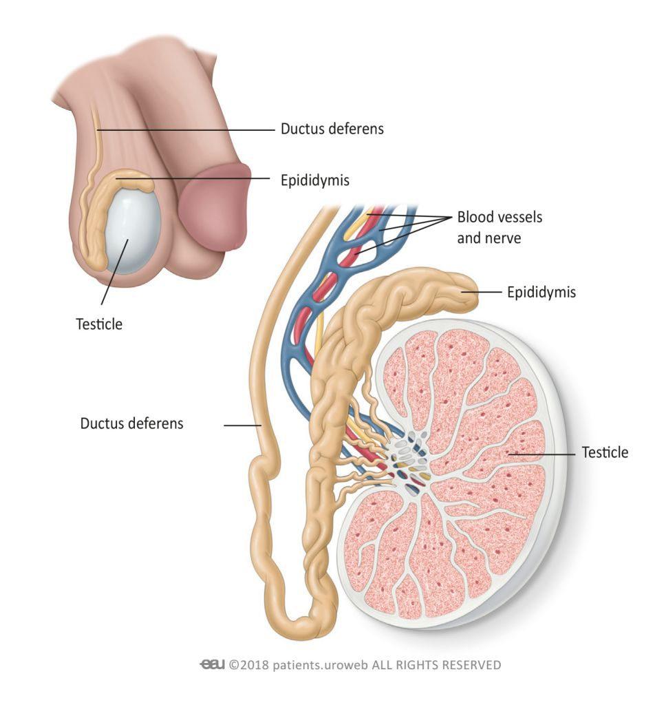 testicular cancer images vaccino papillomavirus eta
