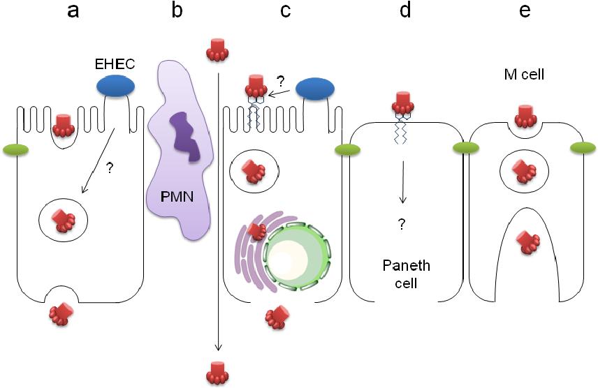toxine intestin virus del papiloma humano tipo 2
