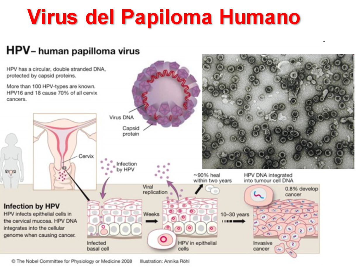 virus papiloma humano microbiologia hpv cervical cancer nhs