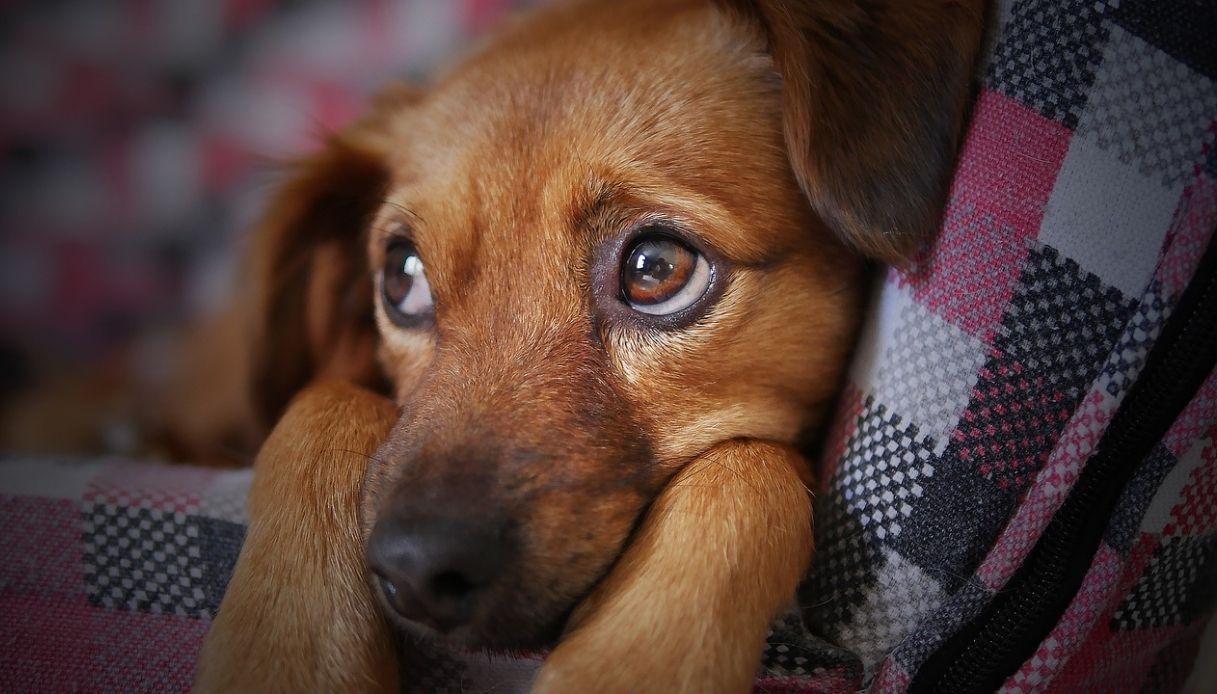 come curare il papilloma virus nel cane