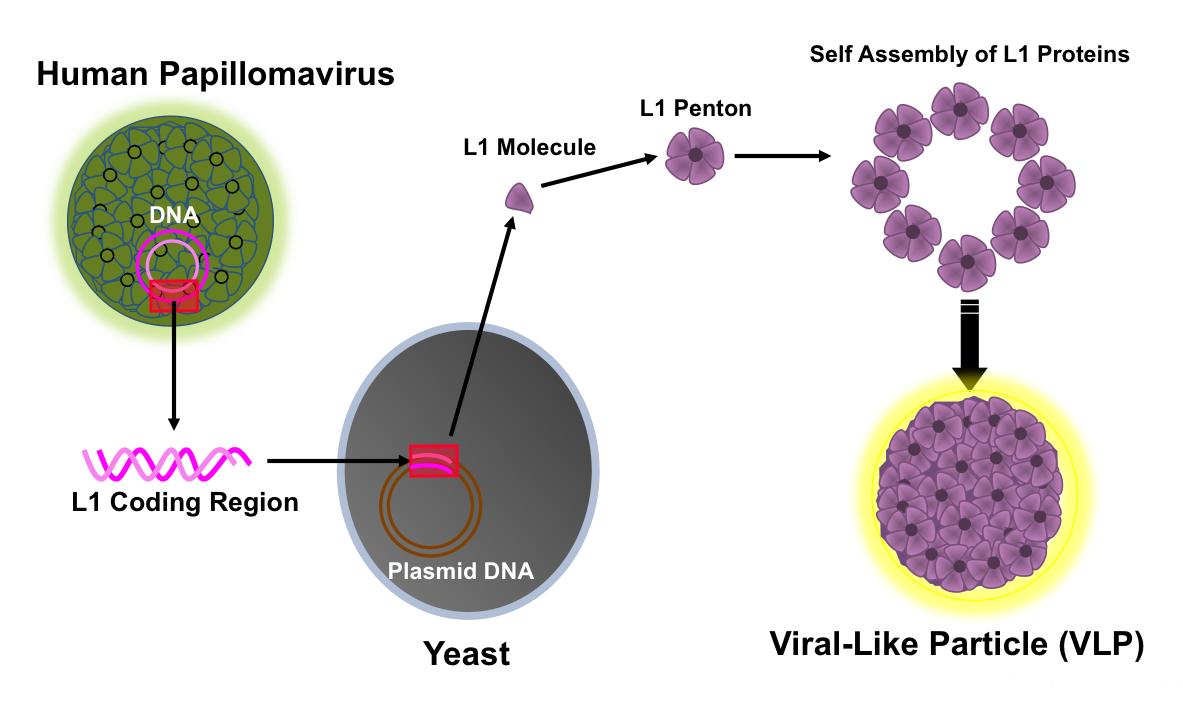 human papillomavirus pathogenesis