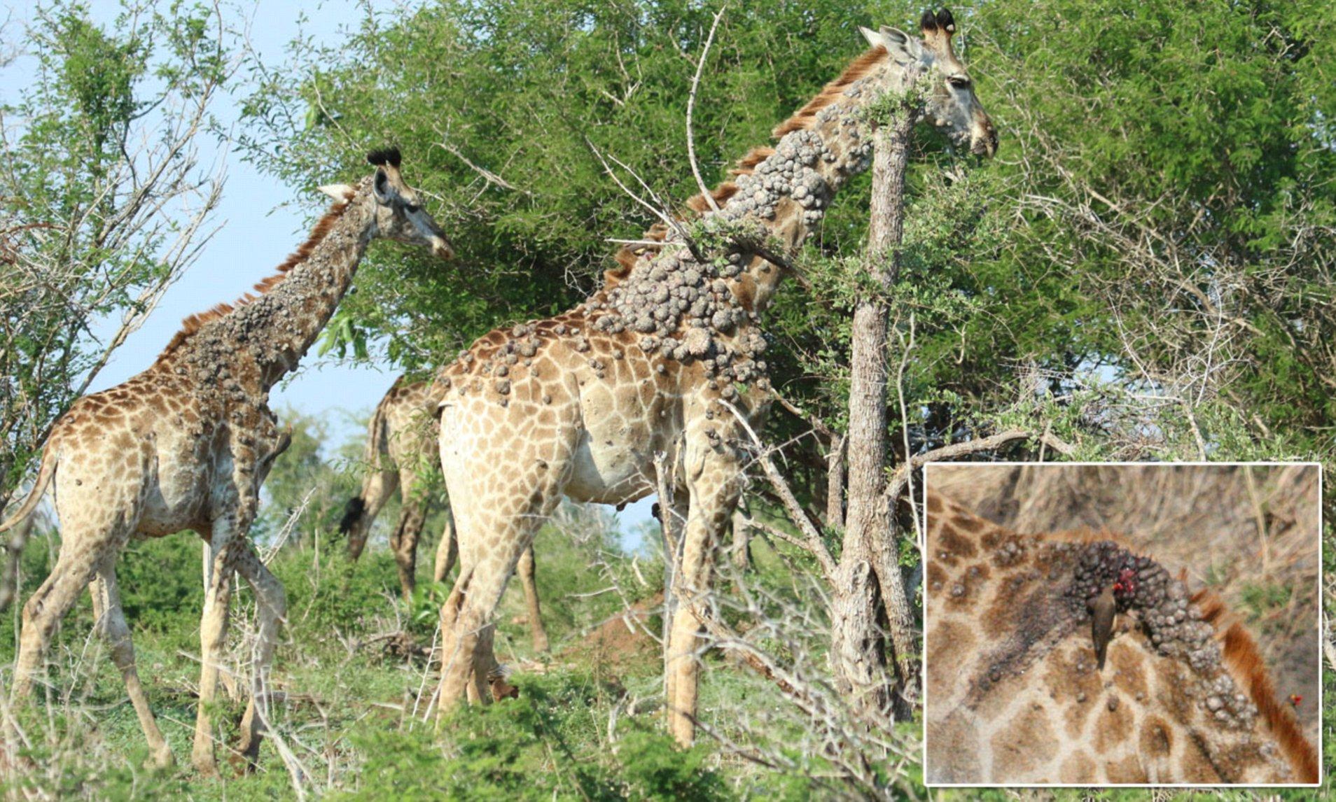 papillomavirus giraffe helminth immunomodulation in autoimmune disease
