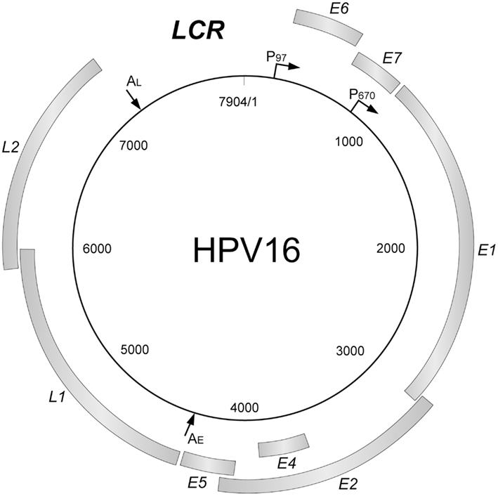 hpv genome sequence