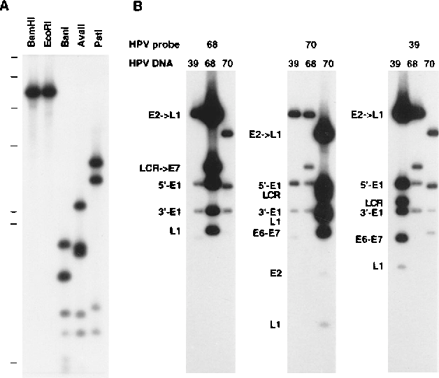 papillomavirus hpv 39